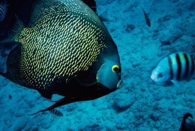 Común peces de agua salada acuario