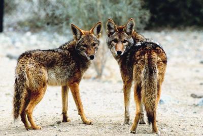 ¿Qué tipo de coyotes viven cerca de Cañones?