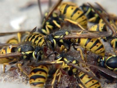 Los insectos voladores que se parecen a las avispas