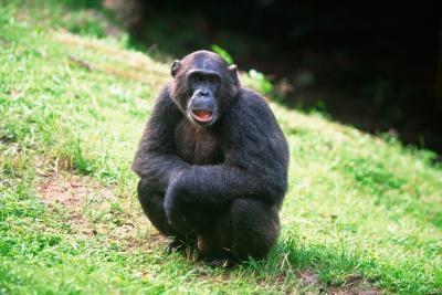 Herramientas de supervivencia de chimpancés