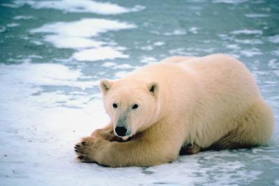 ¿Cómo funciona un oso polar adaptarse al clima?