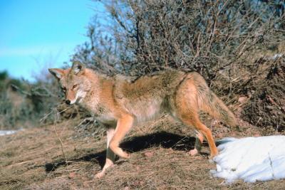 Como la piel y del moreno de un coyote