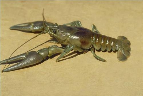 ¿Cómo funciona una trampa de cangrejo de río?
