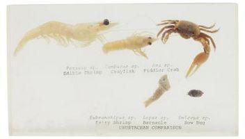 Acerca de cangrejos violinistas