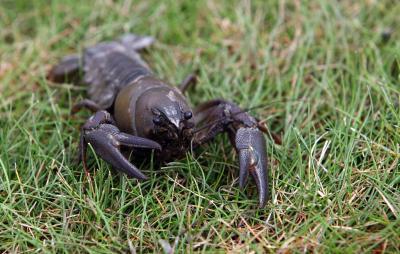 ¿Qué ocurre con los alimentos digeridos en un cangrejo de río?