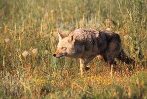 Las diferencias entre los lobos y coyotes
