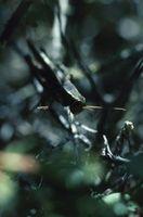 Especies de los saltamontes Lubber