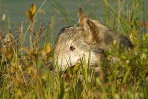 Juegos de caza del lobo