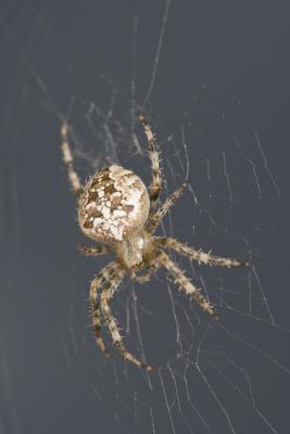 Las arañas del noroeste del Pacífico, Estados Unidos