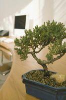 Cómo mantener una planta de Bonsai