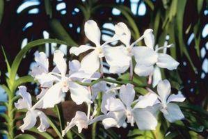 La clasificación científica de la orquídea Vanda