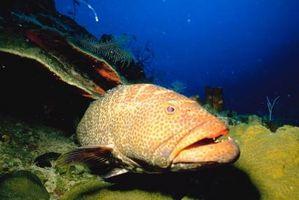 ¿Cuál es la diferencia entre un pez y un mero?