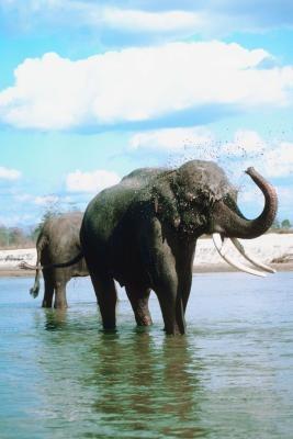 ¿Cómo resultó elefantes asiáticos ponerse en peligro?