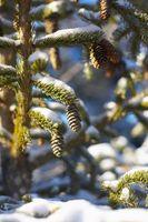Las diferencias entre el macho y hembra Polen Semilla conos del pino