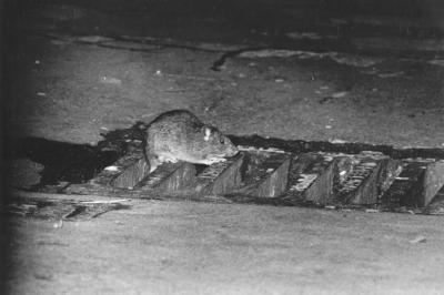 ¿Qué tan grande ¿Puede una rata conseguir?