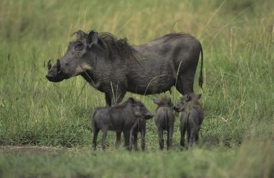 Los hábitos de sueño de los cerdos salvajes