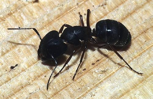¿Qué hacen las hormigas carpinteras parece?