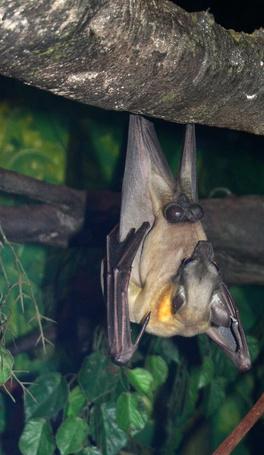 El hábitat del murciélago de cola libre