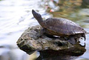 Cómo distinguir entre macho y hembra tortugas
