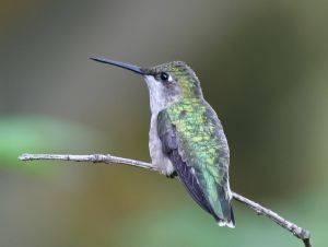 ¿Cómo se aparean los colibríes?