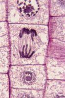 Enumerar los pasos del ciclo celular con el fin