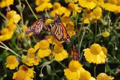 Tipos raros de las mariposas
