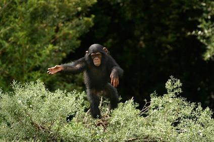 La clasificación taxonómica del chimpancé