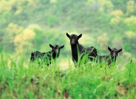 La diferencia entre las cabras salvajes y domésticos