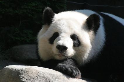 Los factores naturales que afectan la puesta en peligro de pandas