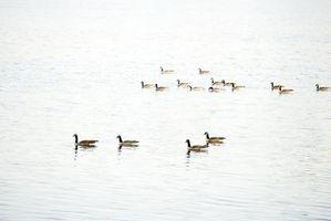 ¿Qué causa algas pardas en un lago?