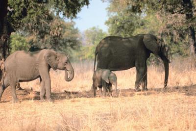 Cómo criar a los elefantes bebés
