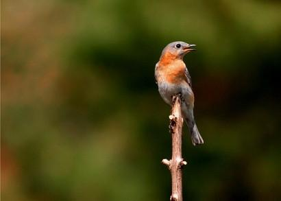 ¿Cuál es la diferencia entre un Bluebird masculino y femenino?