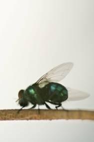 Ciclo de vida de las moscas azules