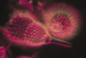 Cómo sacar de diapositivas del microscopio