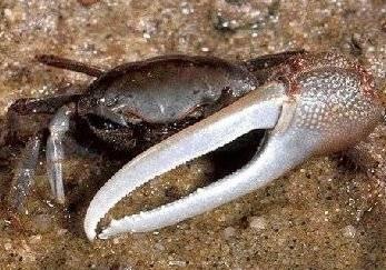 Cómo hacer un cangrejo violinista Fuera de la arcilla de modelado