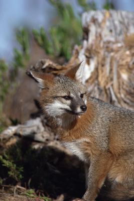 Cómo montar una de tamaño natural Gray Fox