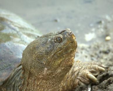 Las técnicas para atrapar una tortuga mordedora