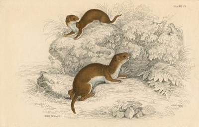 Diferencias entre los hurones, armiños y comadrejas