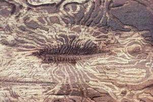 Los signos visuales de termitas