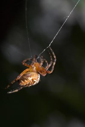 Las arañas comunes a Maine
