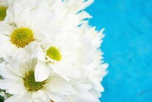 Cómo hacer ramos de la boda con la margarita Flores