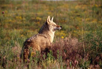 ¿Cómo decirle a un macho de una hembra Coyote
