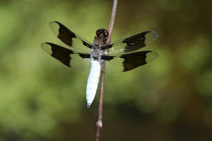 Cómo Fijar una libélula