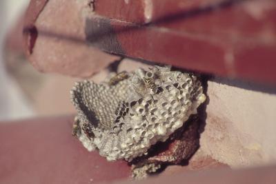Cómo localizar los nidos de avispas