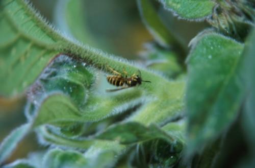 Avispas y otros insectos voladores en Massachusetts