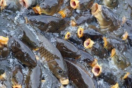 ¿Cómo aceite de motor mata a los peces
