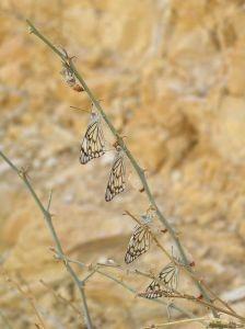 Marco de tiempo y proceso de una mariposa saliendo de un capullo