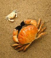 ¿Qué comen los cangrejos de arena?