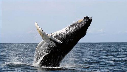 ¿Por qué no ballenas fregadero?