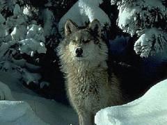 ¿Qué es una vida como la de Wolf?